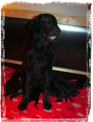 Flatcoated Retriever kennel