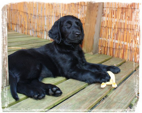 Flatcoated Retriever puppy