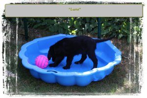 Flatcoated Retriever puppy kopen