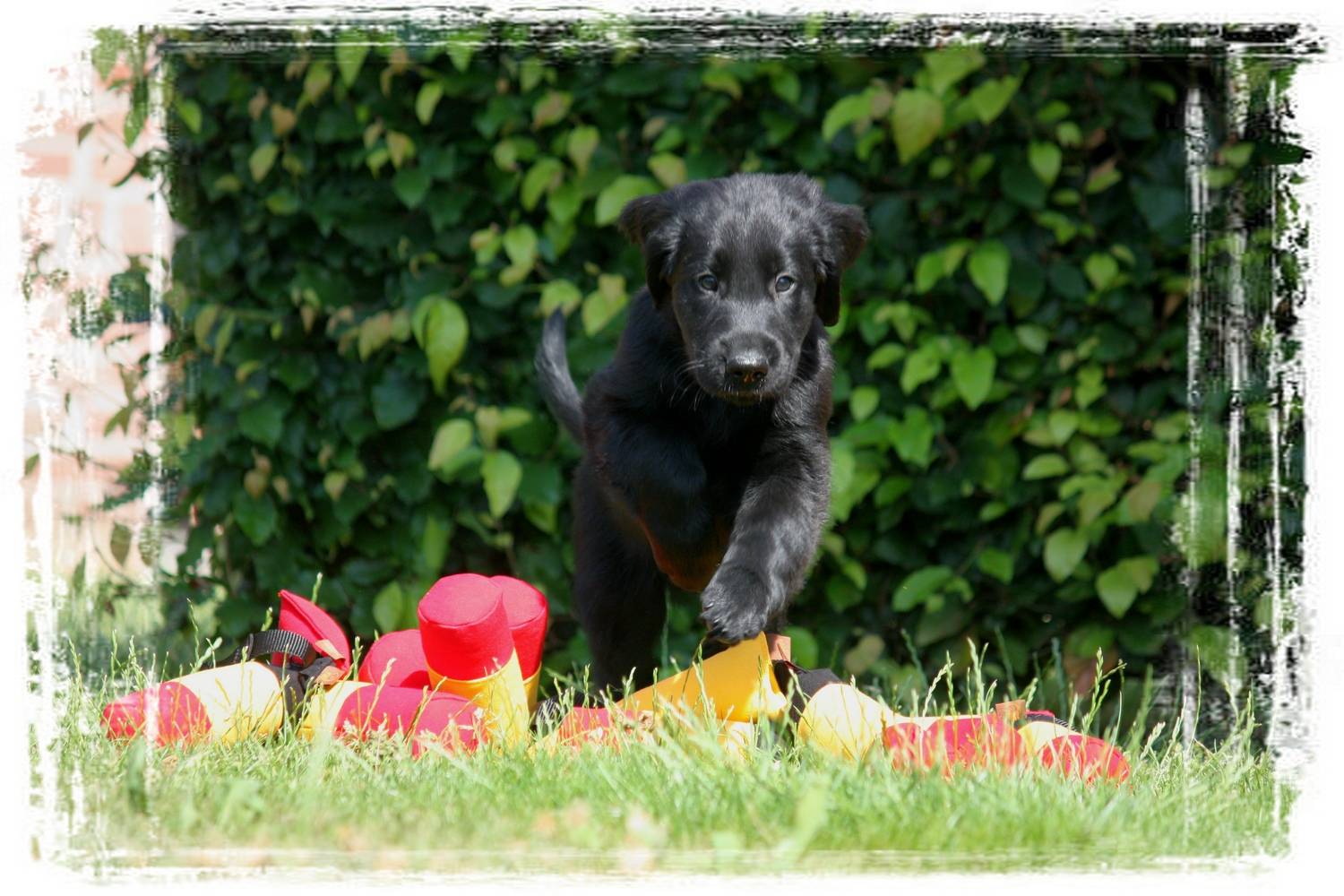 flat coated retriever puppy kopen