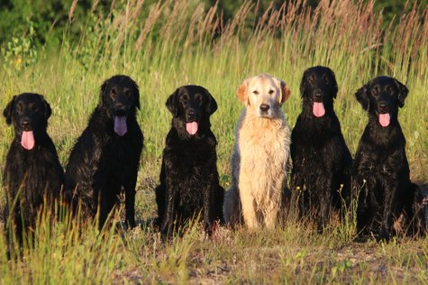 Flatcoated Retriever