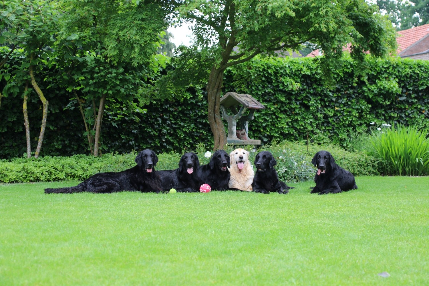 Kennel Bel Ami Belge Flatcoated Retrievers