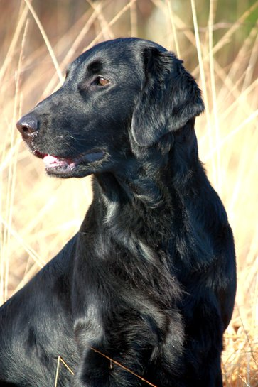 flat coated retriever puppies for sale